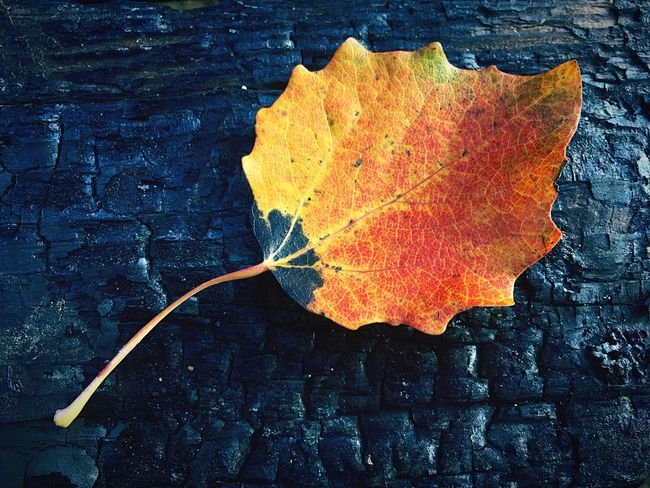 Leaf Autumn Change Dry Outdoors Day No People Yellow Close-up Nature Maple Leaf Red Maple Fragility Burnt Burnt Wood Scorched Singed Fire
