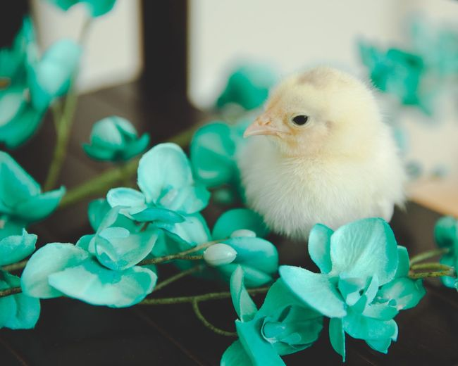 Close-up of a baby chick