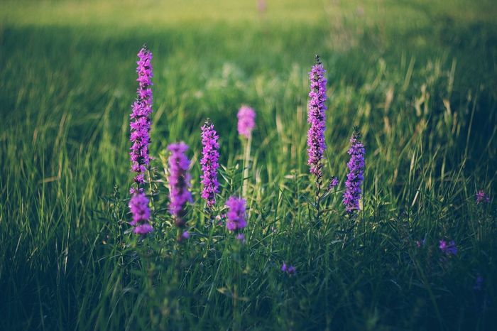 Growth Flower Plant Grass Nature Field Purple Beauty In Nature No People Tranquility Outdoors Blooming Fragility Freshness Close-up Day The Week On EyeEm Fujifilm_xseries Plant Flower Head Nature