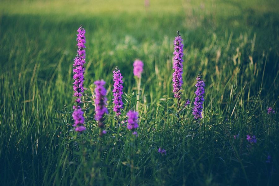 Growth Flower Plant Grass Nature Field Purple Beauty In Nature No People Tranquility Outdoors Blooming Fragility Freshness Close-up Day The Week On EyeEm Fujifilm_xseries Plant Flower Head Nature Capture Tomorrow