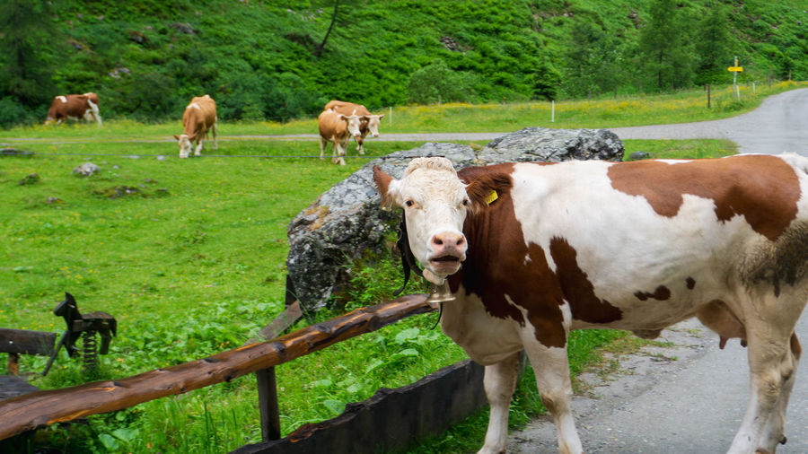 Cows standing in a farm