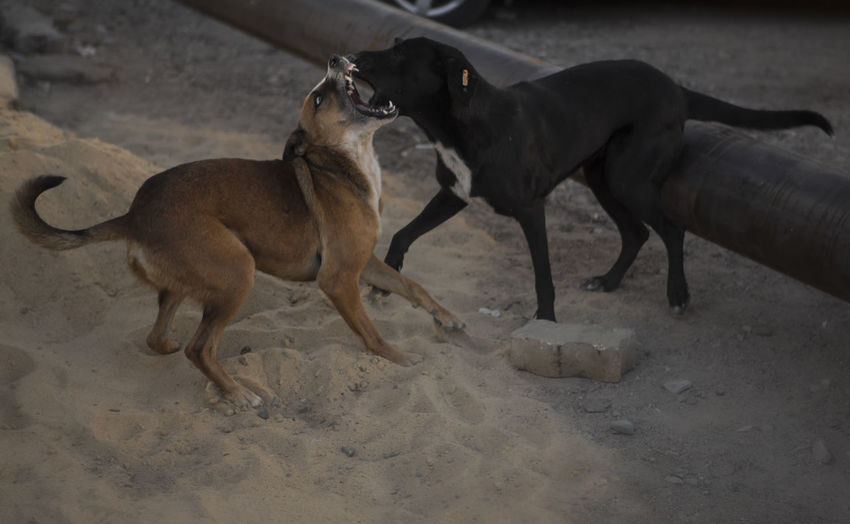 Animal Themes Dog Domestic Animals Fighting Fighting Street Do Mammal Pets Playful Dogs Stray Dogs Street Dogs Fighting Street Dogs In Hurghada,Egypt Streetphotography Togetherness