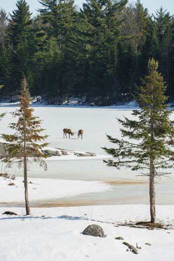 View of pine trees on snow covered field
