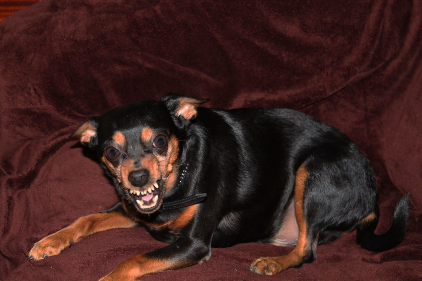Aggressive Agresivamente Angry Angry Dog Animal Themes Animales Animals Black Color Cao Dog Domestic Animals Furioso High Angle View Hund One Animal Perro Pets Tiere Wütend Zwergpinscher