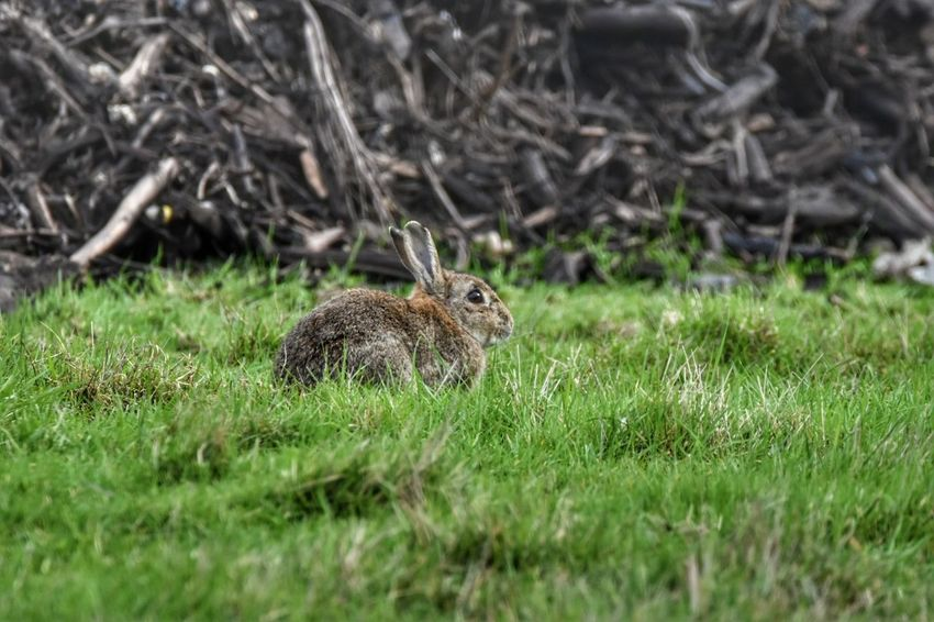 wild rabbit Grass Animals In The Wild Animal Themes Animal Wildlife One Animal Field Mammal Nature Growth Rabbit Outdoors No People Day Riverside River Thames Nature Reserve Sigma150-600c NikonD5500 Squirrel Rearing Up Close-up