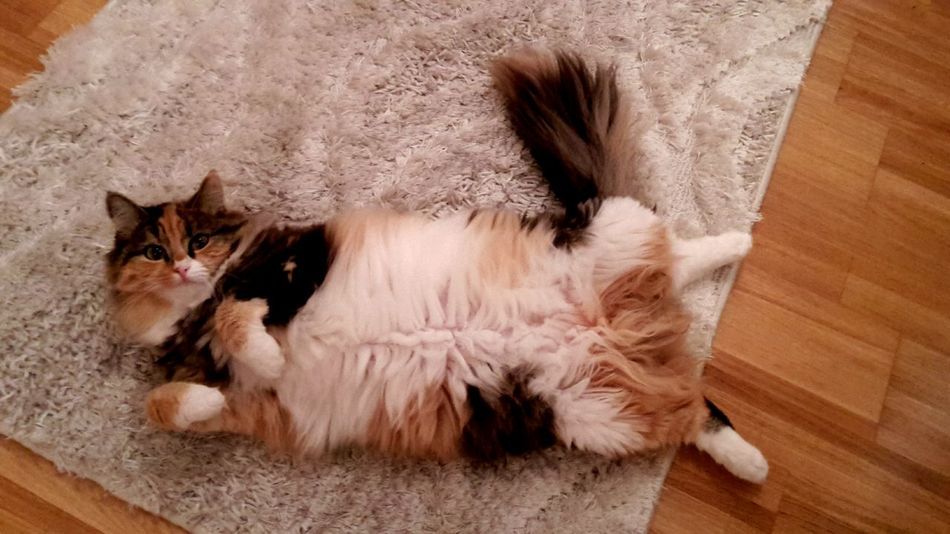 Domestic Cat Domestic Animals Pets Animal Themes Mammal One Animal Feline Indoors  Lying Down Cat No People Tortoiseshell Cat Close-up Tabby Cat Persian Cat  Day Looking At Camera Cat Lovers Indoors  Whisker Indoors