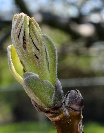 English Walnut Tree Bloom Beauty In Nature Botany Close-up Day Detail English Walnut Tree Bloom Focus On Foreground Fragility Green Green Color Growing Growth Macro Natural Pattern Nature New Life No People Outdoors Selective Focus Walnut Tree