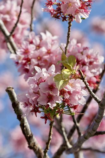 pink cherry blossoms against blue sky Flowering Plant Flower Plant Fragility Pink Color Beauty In Nature Freshness Growth Vulnerability  Tree Blossom Branch Close-up Springtime Nature Cherry Blossom Petal Day No People Focus On Foreground Cherry Tree Flower Head Outdoors Pollen Spring Cherry Blossoms