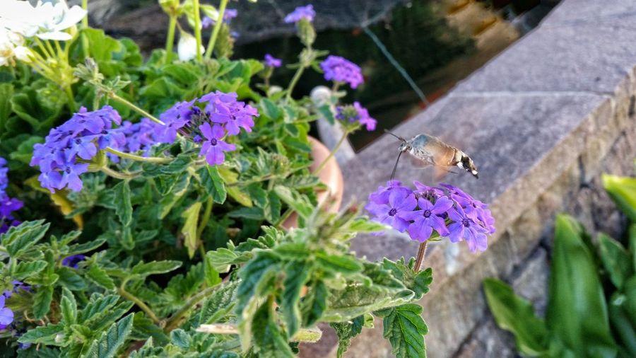 Flower With Animal Essen Eating Fliegen Flying Honig Falter Violet Flower Teich Im Hintergrund Pollen Focus Blüte Es Blüht Sommer Feelings By Day On The Way