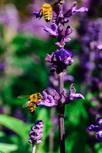 Bees And Flowers Farm Farm Life Lavender Farm Nectar Hunter Animal Themes Animal Wildlife Animals In The Wild Bee Blooming Bumblebee Buzzing Close-up Collecting Nectar Flower Fragility Freshness Garden Hardworking Insect Lavender Nature Petal Pollination Purple