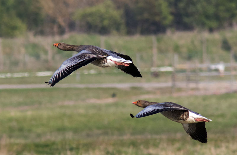 Greylags in