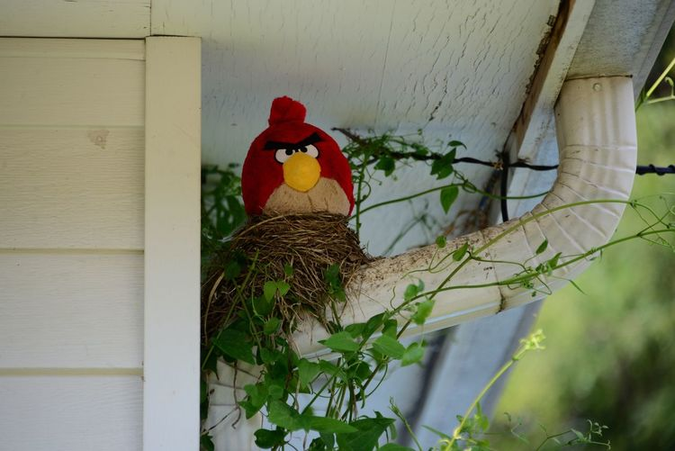 Good Morning 🌏🌍🌎 This nest was empty and drove my neighbor crazy, he wanted me to tear it down...so I added the angry bird who looks directly into his kitchen window😬 Empty Robins Nest Angry Bird Day No People Outdoors Architecture Close-up Building Exterior