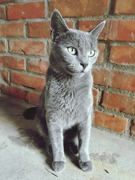 Cat Domestic Cat Pets Brick Wall Feline Domestic Animals Cute Mammal Sitting One Animal No People Portrait Animal Themes Outdoors Day Russian Blue Photography