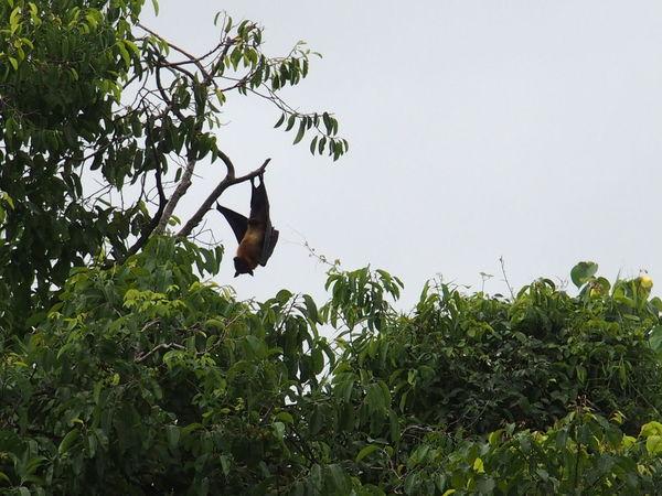 Near Hikkaduwa, sri lanka Animal Themes Animals In The Wild Bat Beauty In Nature Branch Clear Sky Fruit Bat Hikkaduwa Megabat No People One Animal Outdoors Perching Sri Lanka Tree Wildlife Zoology