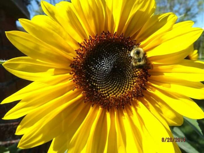 Sunflower Bee Busybee Closeup Closeupshot Puremichigan Summertime