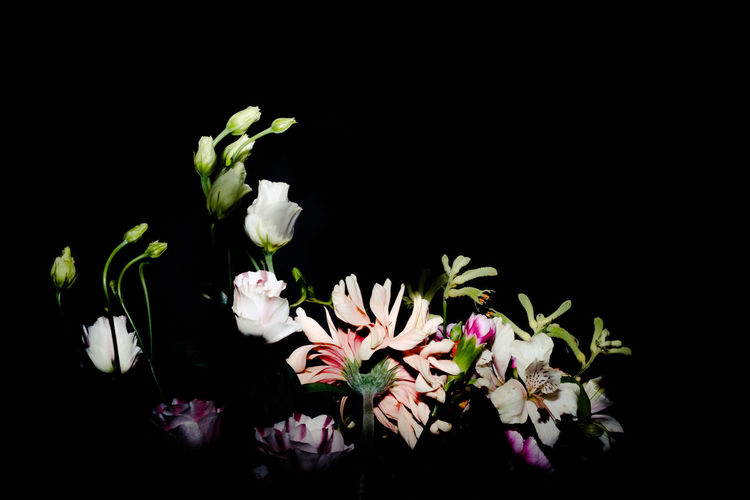Beauty In Nature Black Background Close-up Day Flower Flower Head Fragility Freshness Indoors  Nature No People Plant