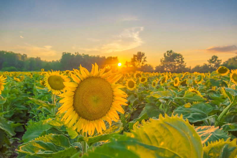 Agriculture Beauty In Nature Environment Farm Field Flower Flower Head Flowering Plant Freshness Growth Inflorescence Land Landscape Nature No People Outdoors Plant Pollen Rural Scene Scenics - Nature Sky Springtime Sunflower Sunset Yellow