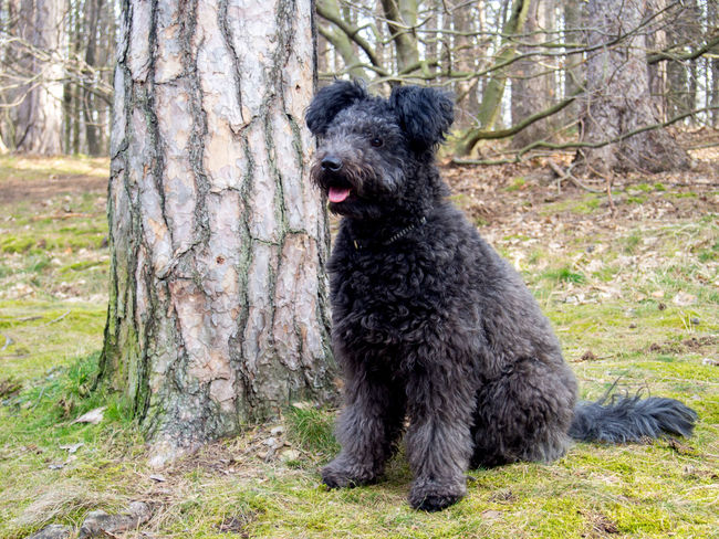 Animal Themes Black Color Breed Day Dog Domestic Animals Forest Fur Herding Terrier Hungarian Pumi Lively Mammal Mouth Open Nature No People One Animal Outdoors Pets Pumi Tongue Tongueout Tree Tree Trunk Vivid
