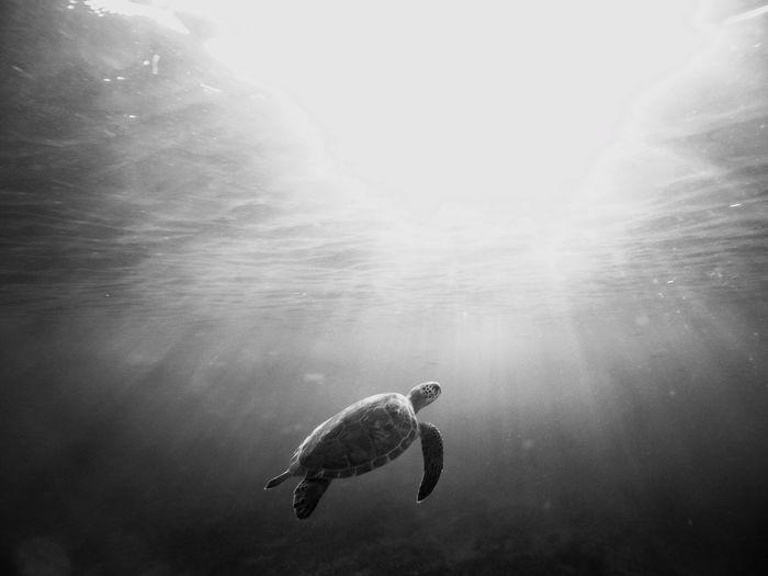Green sea turtle surfacing to take a breath