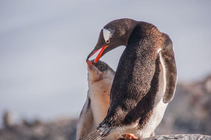Iceberg Ice Ziwang Ziseetheworld Antarctic Peninsula Antarctica Gentoo  Gentoo Penguin Penguin Gentoo Penguin Chick Penguin Chick Penguin Feeding
