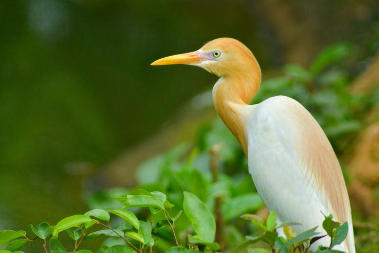 Cattle Egret On Plant