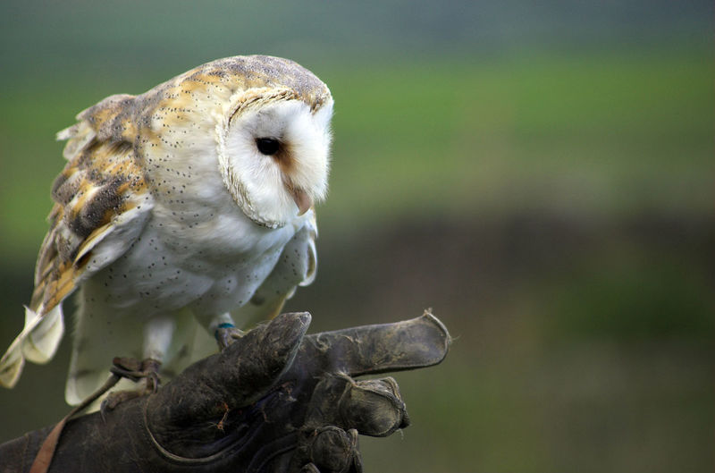 Close-up of barn owl perching on hand wearing glove