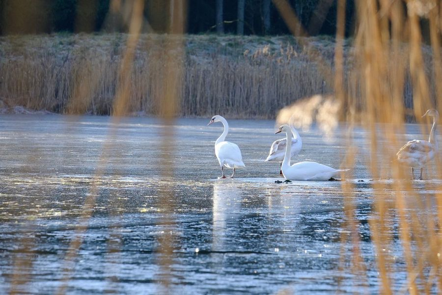 Animal Themes Animal Wildlife Animals In The Wild Bird Lake Nature No People Outdoors Reflection Swan On Ice Wading Water
