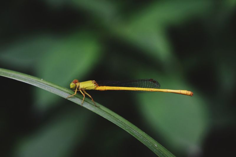 Damselfly Insect Full Length Leaf Close-up Animal Themes Dragonfly Winged Flight Blooming Blade Of Grass Growing Plant Life Animal Antenna