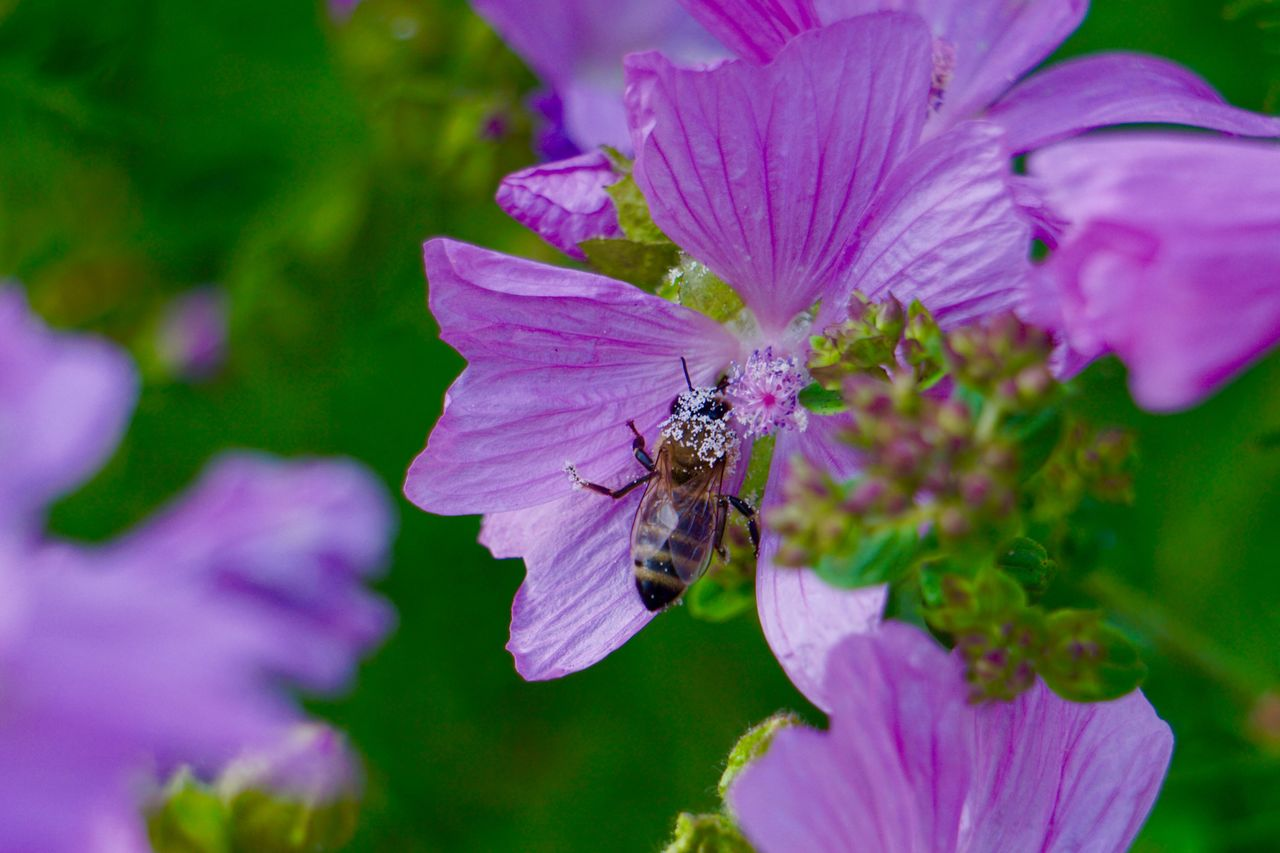 flower, flowering plant, invertebrate, insect, animals in the wild, animal themes, petal, animal, one animal, animal wildlife, beauty in nature, fragility, vulnerability, freshness, flower head, growth, bee, plant, close-up, pollination, purple, no people, pollen