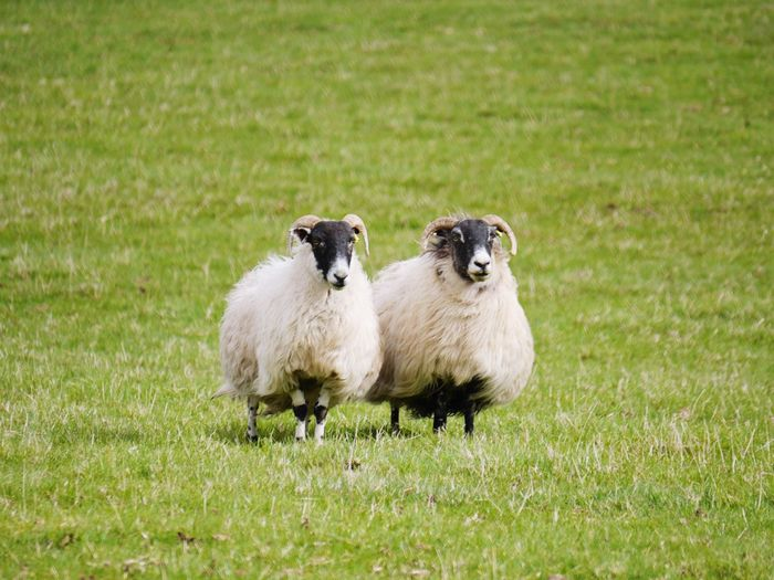 Two sheep -