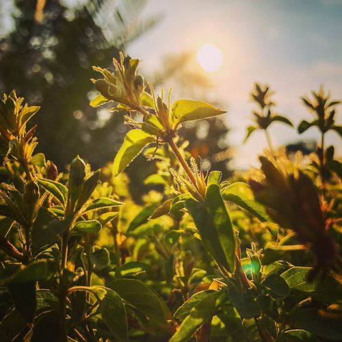 The afternoon sun Plant Sunlight Growth Beauty In Nature Nature Tree Tranquility Sky Leaf Plant Part Green Color Day No People Sun Sunny Low Angle View Outdoors Close-up Lens Flare Sunbeam