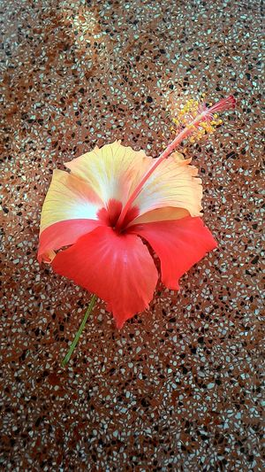 2 colored hibiscus First Eyeem Photo