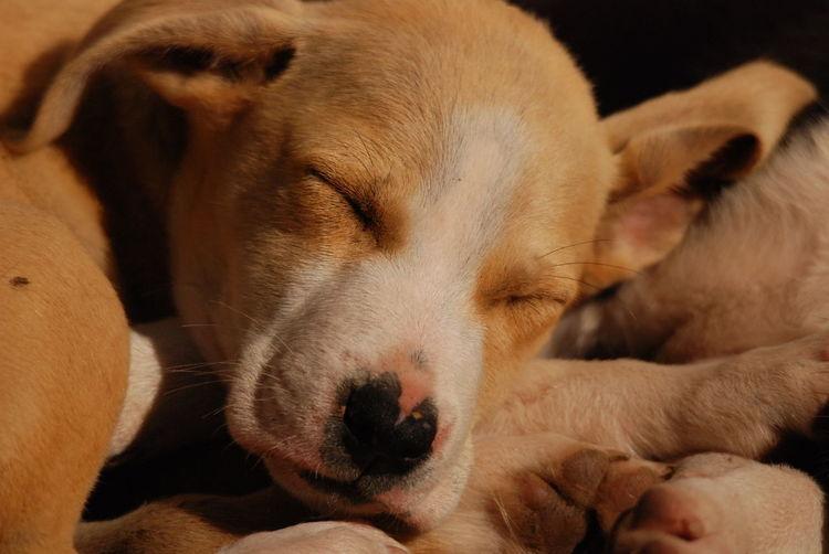 sleepin dog Animal Themes Close-up Day Dog Dog Sleeping  Domestic Animals Dreaming Eyes Closed  Indoors  Mammal No People One Animal Pets Relaxation Sleeping Sleeping Dog