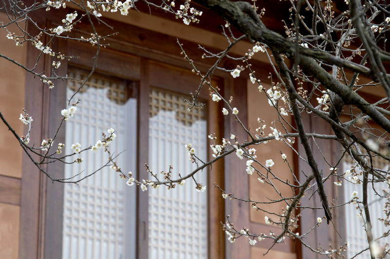 Ume Flower Village in Gwangyang, Jeonnam, South Korea Architecture Close-up Day Focus On Foreground Fragility Hanging March 2017 Nature No People Outdoors Spring Spring Flowers Ume Flower