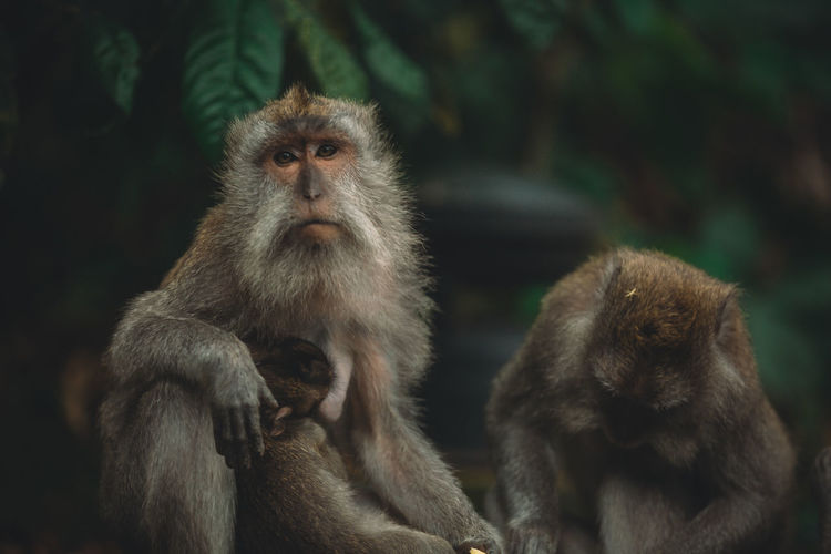 Close-Up Of Monkeys Looking Away While Sitting Outdoors