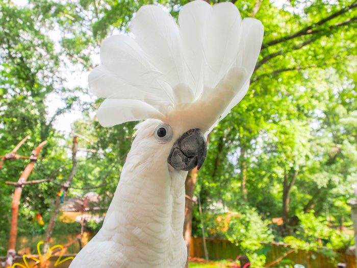Animal Crest Animal Head  Animal Themes Beak Bird Close-up Cockatoo Day Domestic Animals Exotic Pets Feather  Flair Focus On Foreground No People One Animal Outdoors Parrot Pets Tree White Color