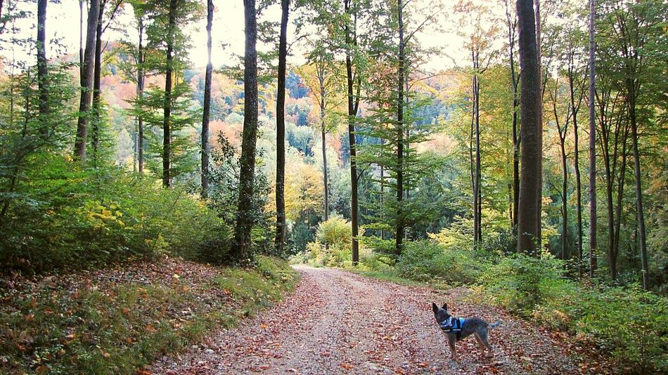 The way forward 🐾🌱🌳🌄☔🌈 Tree Nature Forest Beauty In Nature Outdoors Save The Nature Spirits Dreambig Power In Nature Forestwalk The Way Forward Autmn☺ Adventure Autmn Trees Lovethenature Cattledog Blueheeler Switzerland Thinkpositive Goodforthesoul