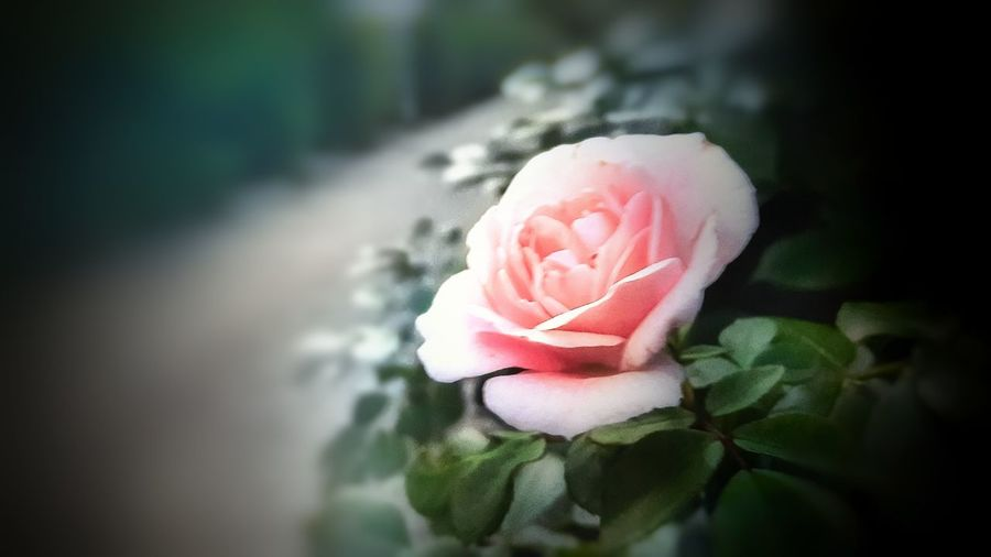 Pink Rose Outdoor Photography First Eyeem Photo EyeEmNewHere EyeEm Nature Lover Colorful Softness Soft Focus Soft Coral Street Flower Collection Beauty In Nature Smartphonephotography Pastel Power Rose🌹 Roses_collection Flower Head Flower Pink Color Close-up Blooming Growing Single Rose In Bloom Blossom Pollen Botany Plant Life My Best Photo