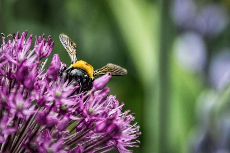 LongwoodGardens Showcase: February EyeEm Best Shots The Week On Eyem Flowers Bee Bumblebee Purple Purple Flower Yellow Macro Insect The Great Outdoors - 2016 EyeEm Awards The Essence Of Summer