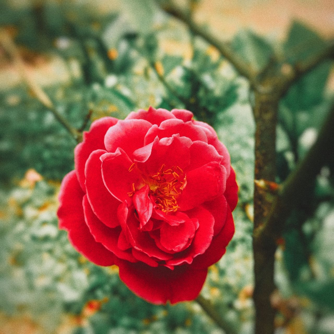 flower, petal, nature, beauty in nature, fragility, flower head, growth, rose - flower, focus on foreground, red, close-up, no people, day, blooming, wild rose, freshness, outdoors, plant