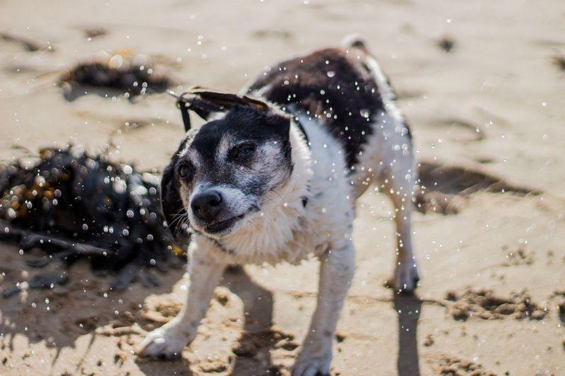 Close-Up Of Dog Shaking Of Water At Beach