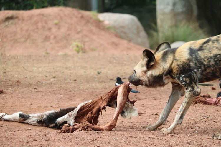 African Wild Dogs Eating At Zoo