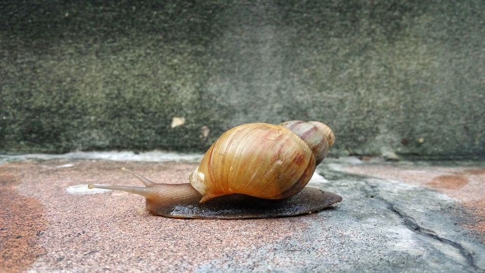 Snail on concrete floor Close-up Animal Shell Outdoors Close-up Single Object Abandoned Animal Shell Brown Obsolete Outdoors Surface Level Focus On Foreground No People Freshness Man Made Object Snail Animal Winkle Gastropod Landsnail Slow Lazy Concreat Slowly
