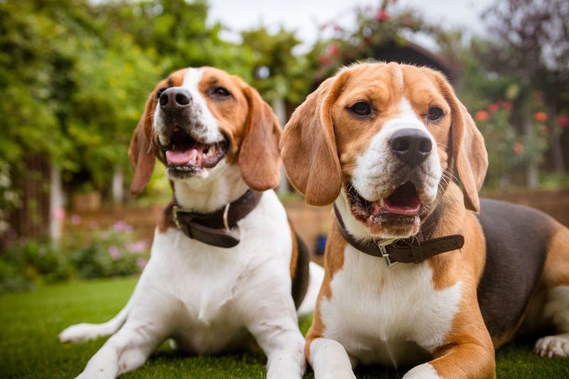 Pets Dog Domestic Animals Two Animals Animal Themes Focus On Foreground Close-up Mammal Nature Outdoors Tree No People Day Grass Garden Beaglelovers Beagle