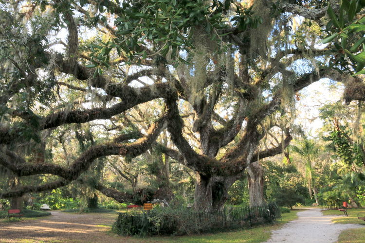Day No People Confederate Oak Old Oak History Massive Tree complex pattern