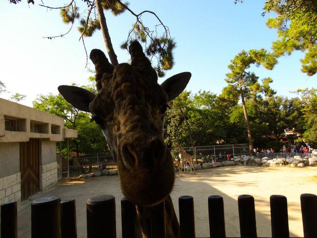 Giraffe Giraffe♥ Animal Animal Body Part Animal Head  Animal Themes Barrier Boundary Day Domestic Domestic Animals Fence Giraffe Portrait Herbivorous La Palmyre Mammal Nature No People One Animal Outdoors Pets Plant Sky Tree Vertebrate