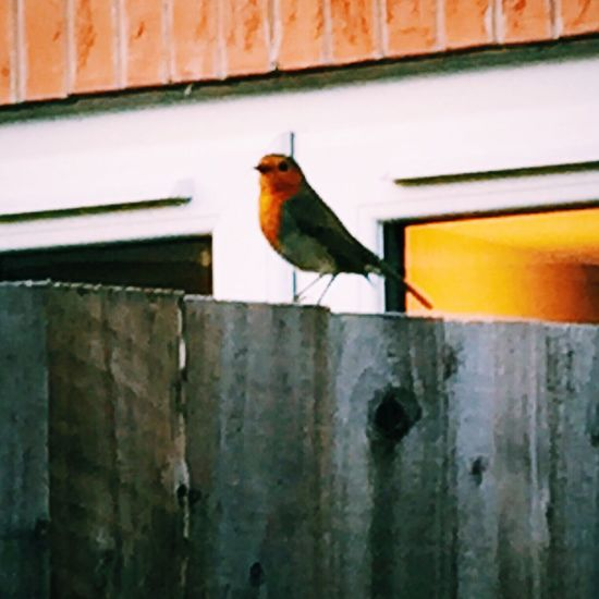One Animal Bird Outdoors Perching Robin Animals In The Wild Animals Posing Bird Photography Birdwatching Birds Opportunity IPhoneography Spring Nature Iphonephotography Iphone 6 PhonePhotography