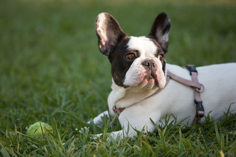 Close-up of french bulldog on grass