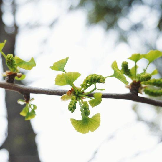 いちょうの若葉が思ってたよりもいちょう!!! Vscocam Spring Nature Springhascome Green 若葉 新芽 いちょう