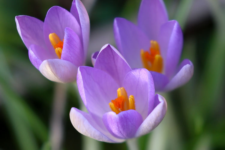 Spring Crocus Flowering Plant Flower Petal Fragility Vulnerability  Plant Close-up Beauty In Nature Inflorescence Freshness Flower Head Growth Purple Nature No People Focus On Foreground Day Outdoors Pollen Iris Crocus